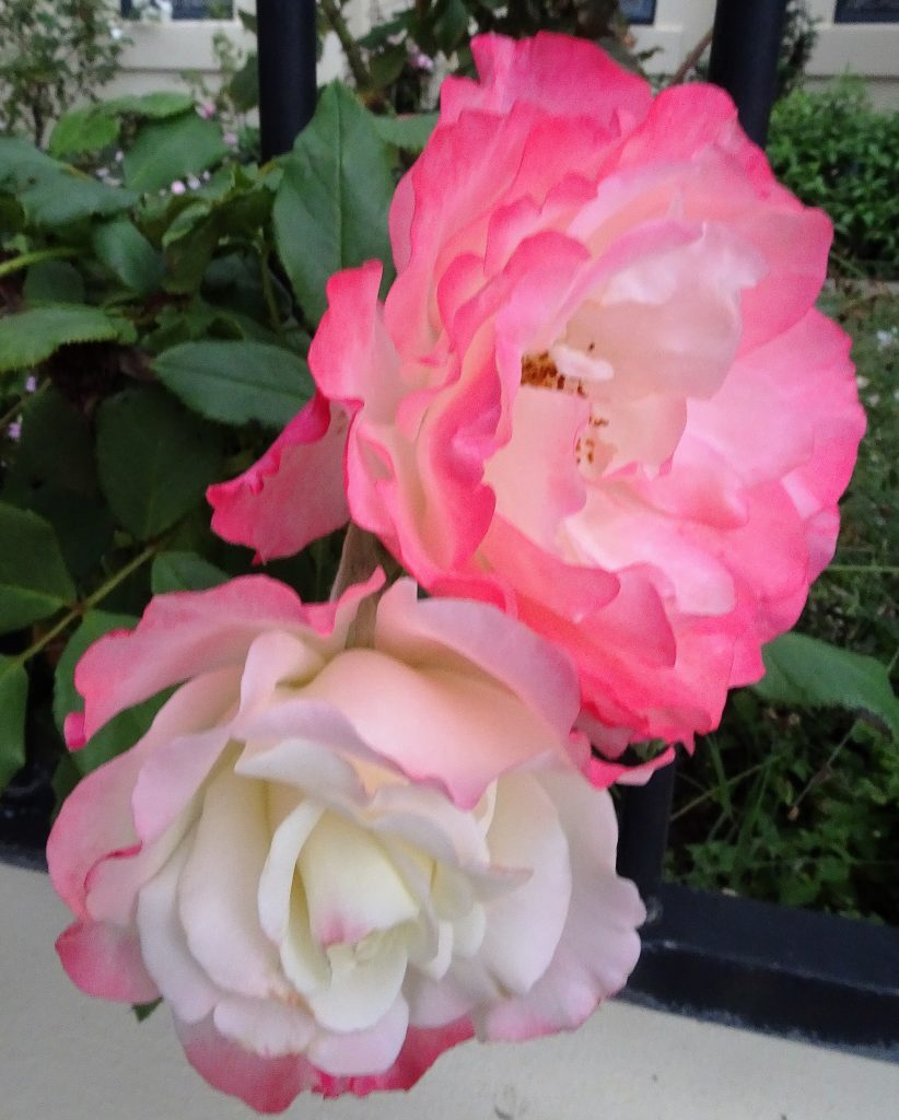 Carminole, one of my favourite Roses (in our garden this morning)
